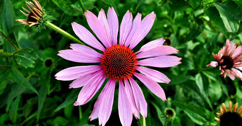 Echinacea: Ernte, Pflege und Aussaat  Echinazea Wirkung, Pflege und Ernte Echinacea zuhause selbst anbauen 1170x610
