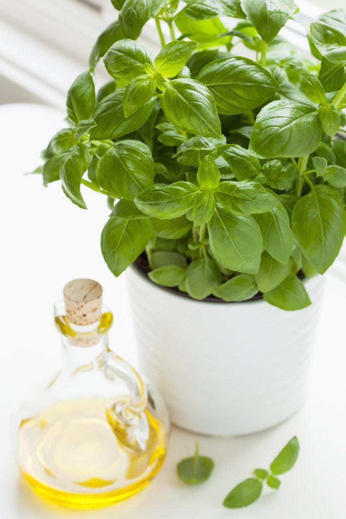Diese 5 Kräuter und Gemüsesorten kannst du im Haus anbauen Frischer Basilikum im Topf 683x1024