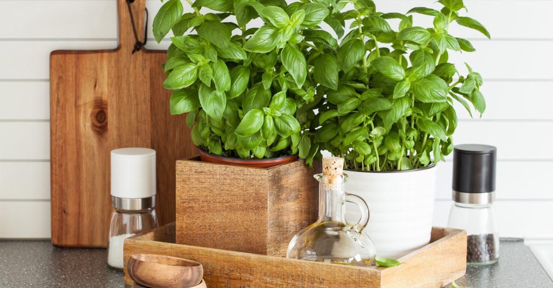 Zu Hause Basilikum pflanzen frischer Basilikum in der Ku  che 1170x610