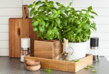 Zu Hause Basilikum pflanzen frischer Basilikum in der Ku  che 220x150