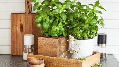 Zu Hause Basilikum pflanzen frischer Basilikum in der Ku  che 390x220