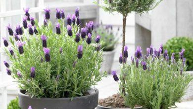 Lavendel Wirkung, Pflege und Ernte lavendel zuhause anbauen 390x220