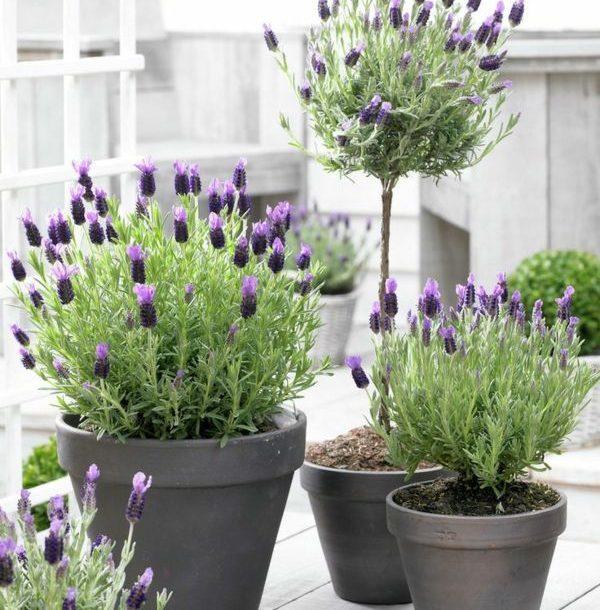 Lavendel Wirkung, Pflege und Ernte lavendel zuhause anbauen 600x610