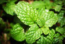 Minze: Ernte, Pflege und Aussaat  Minze Wirkung, Pflege und Ernte minze selbst zuhause anbauen heilpflanze 220x150