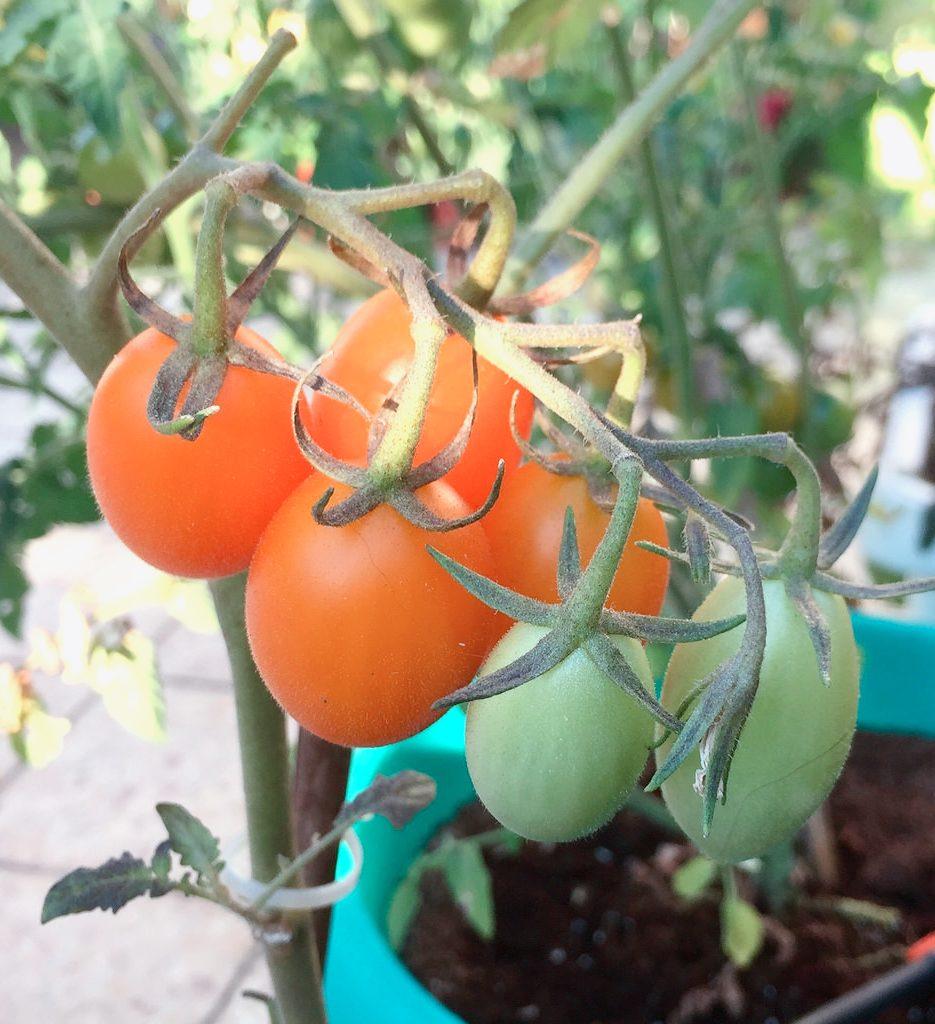 Diese 5 Kräuter und Gemüsesorten kannst du im Haus anbauen tomaten anbauen 1 935x1024