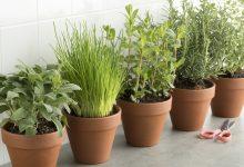 Diese 5 Kräuter und Gemüsesorten kannst du im Haus anbauen Kra  uter anbauen zuhause 220x150