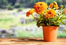Ringelblume pflanzen – so geht es richtig! ringelblume pflanzen zuhause 220x150