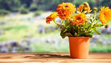 Ringelblume pflanzen – so geht es richtig! ringelblume pflanzen zuhause 390x220