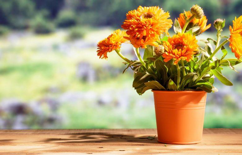 Ringelblume pflanzen – so geht es richtig! ringelblume pflanzen zuhause 780x500