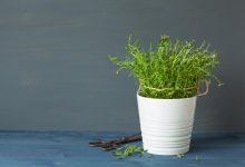 Thymian pflanzen – So machst du es richtig thymian pflanzen zuhause 220x150