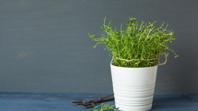 Thymian pflanzen – So machst du es richtig thymian pflanzen zuhause 390x220