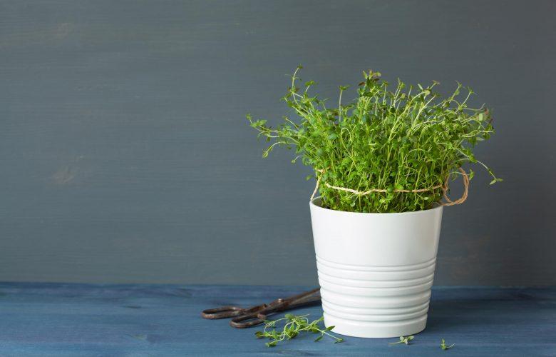 Thymian pflanzen – So machst du es richtig thymian pflanzen zuhause 780x500